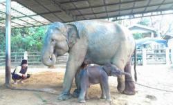 """ช้างตกลูกฉลองวันครู ตั้งชื่อ """"แม่พิมพ์"""""""
